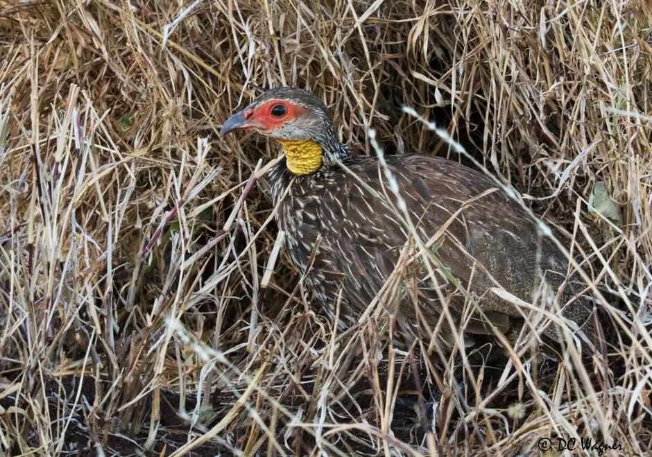 Yellow-necked spurfowl