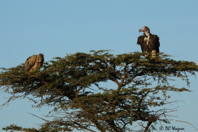 Rueppel's griffon and lappet faced vulture