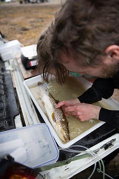 sea trout lice check