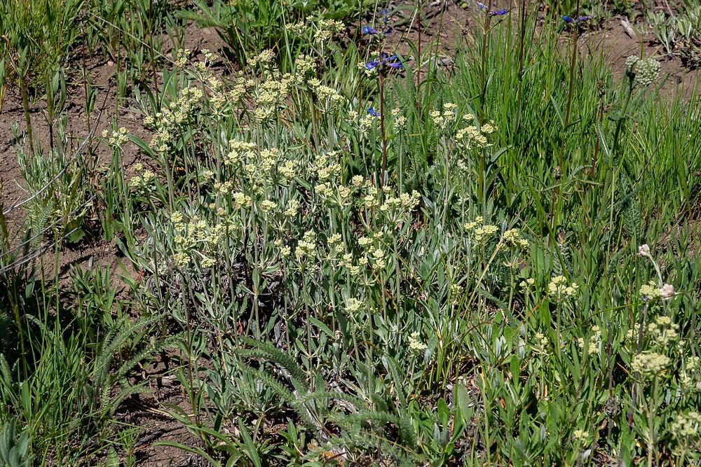 Photo of Parsnipflower Buckwheat