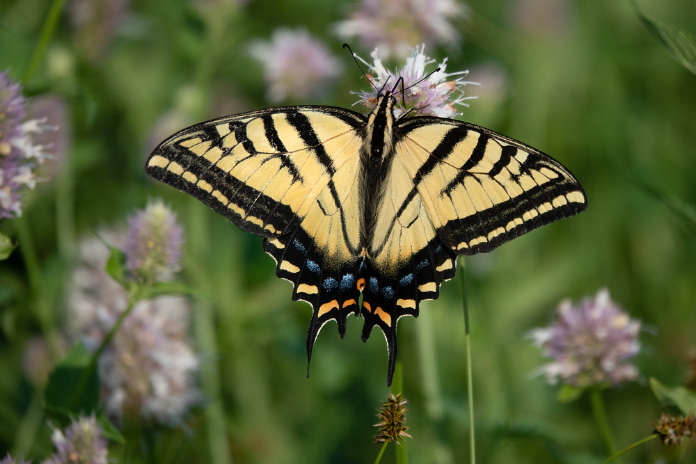 Close-up photo of adult Two-tailed Swallowtail