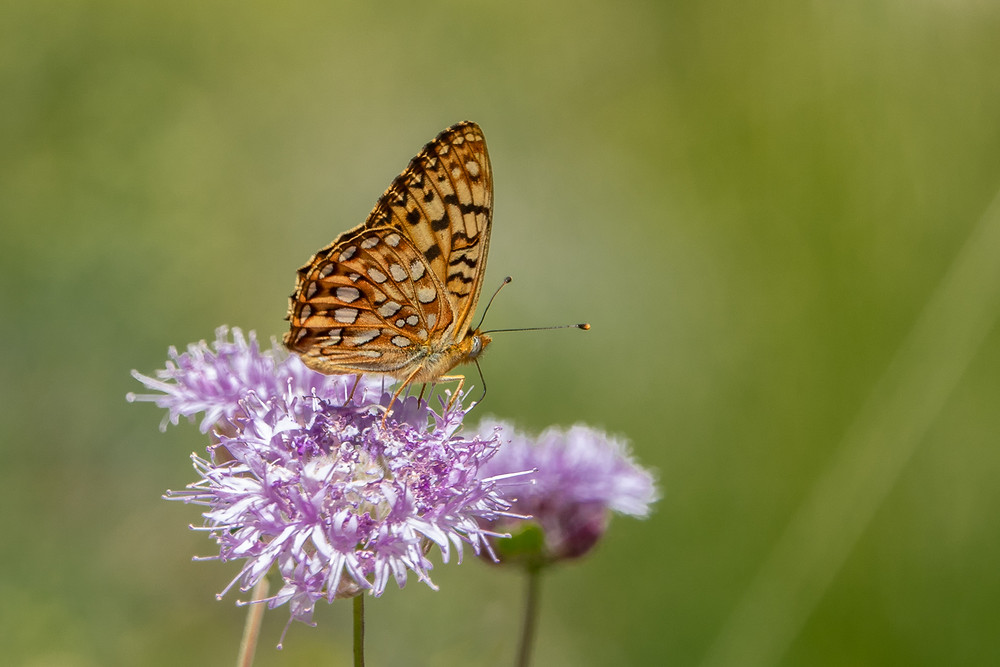 Close-up photo of Great Basin Fritillary butterfly