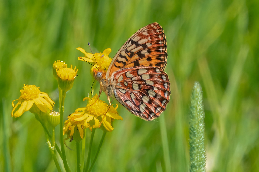 Close-up photo of adult Hydaspe Fritillary butterfly