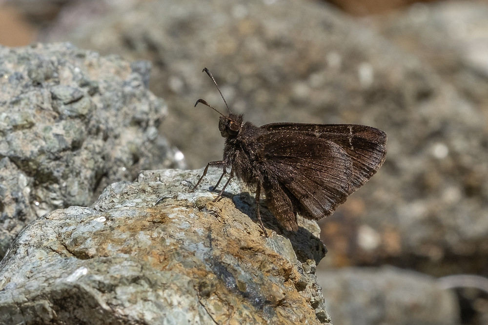 Close-up photo of a Western Cloudywing butterfly, ventral view