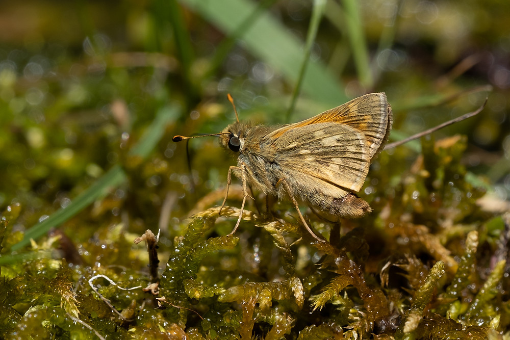 Color photo of Lindsey's Skipper butterfly