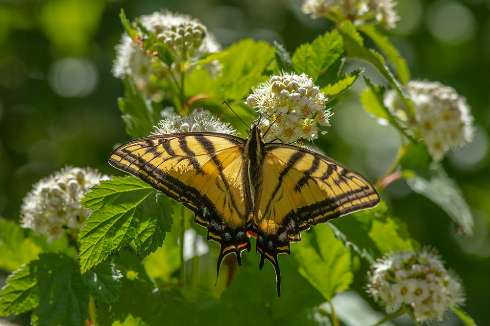 Close-up photo of Two-tailed Swallowtail butterfly