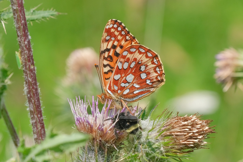 Close-up photo of adult Oregon Silverspot butterfly