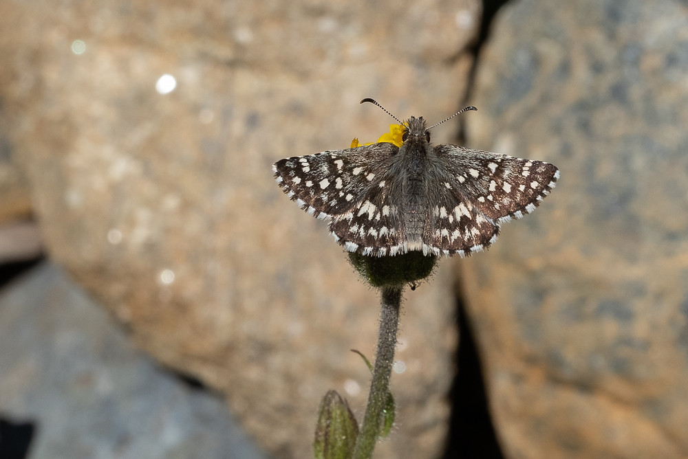 A close-up photo of a Two-Banded Checkered-Skipper butterfly