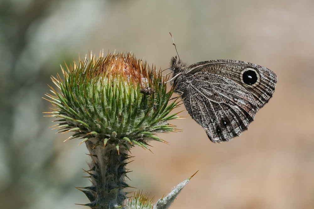 Close-up photo of adult Small Woodnymph butterfly
