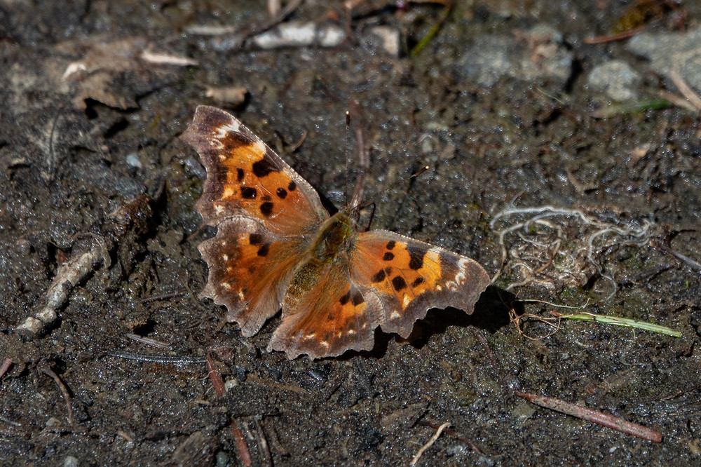 Photo of Comma (Polygonia faunus) butterfly