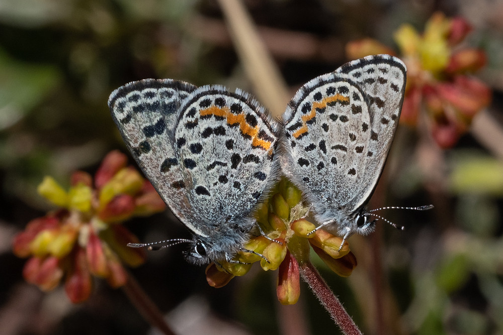 Photo of mating pair of Pumic Blues on their host plant, Marumleaf Buckwheat