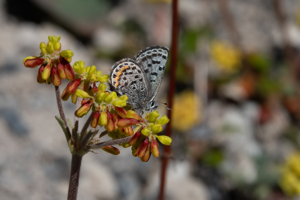 Photo of Pumice Blue on female Marumleaf Buckwheat