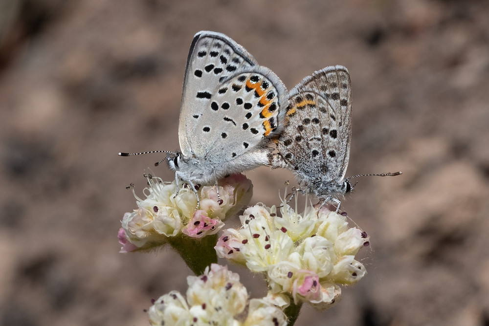 Photo of mating pair of Volanco Blues on their hostplant, Shasta Buckwheat