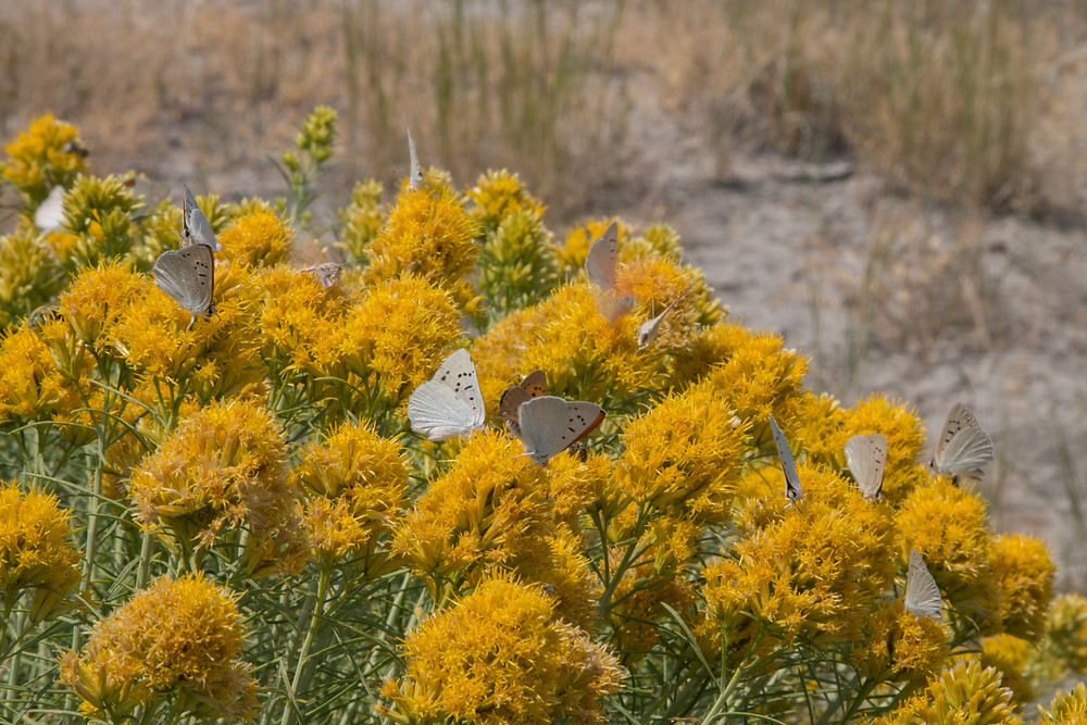 Photo of Ruddy Coppers on Rabbitbrush, Flagstaff Lake