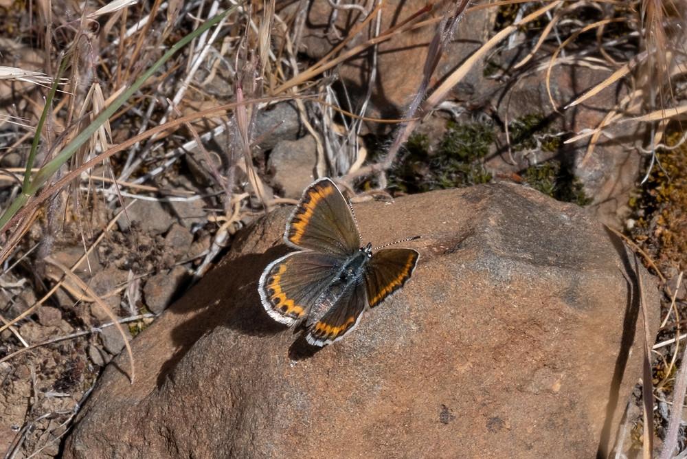 Photo of a female Melissa Blue (Plebejus melissa)