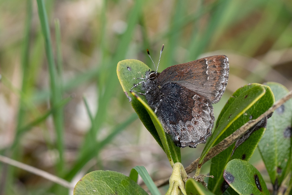 Photo of the Hoary Elfin butterfly