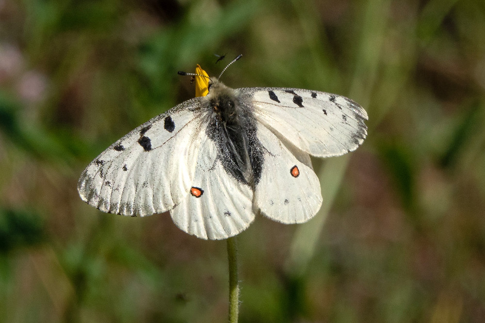 Photo of an adult mail Mountain Parnassian butterfly