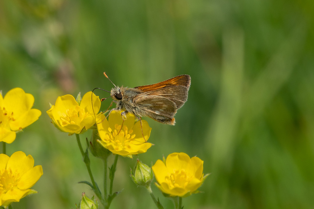 Close-up photo of adult Sonora Skipper butterfly