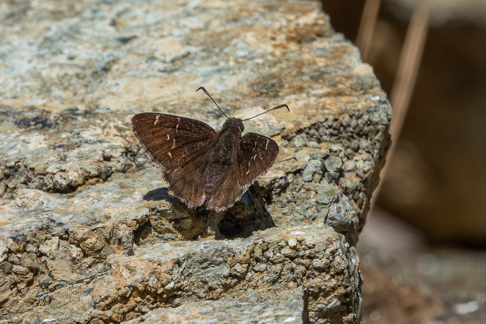 Close up photo of a Western Cloudywing butterfly, dorsal view