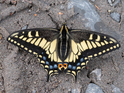 Chasing Our Swallowtail