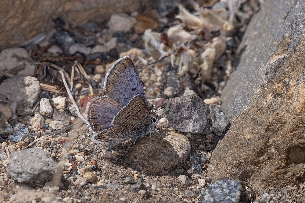 Photo of male Shasta Blue on Tam MacArthur Rim