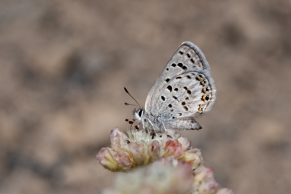Photo of Shasta Blue butterfly