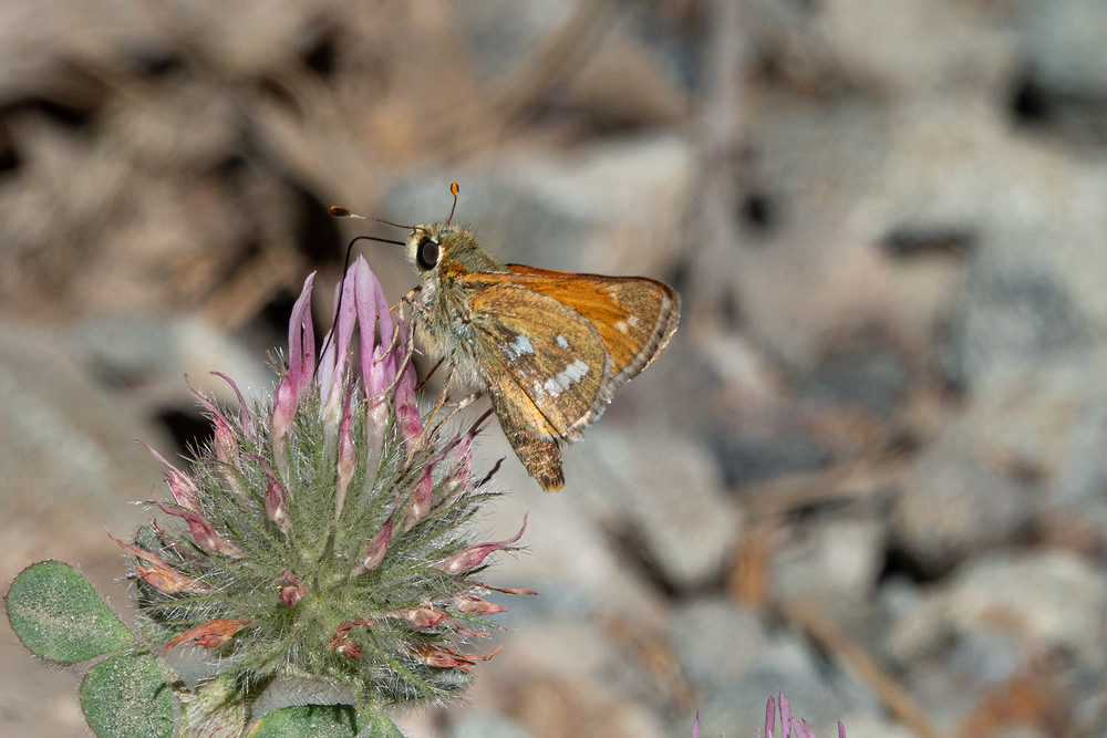 Color photo of Columbian Skipper butterfly