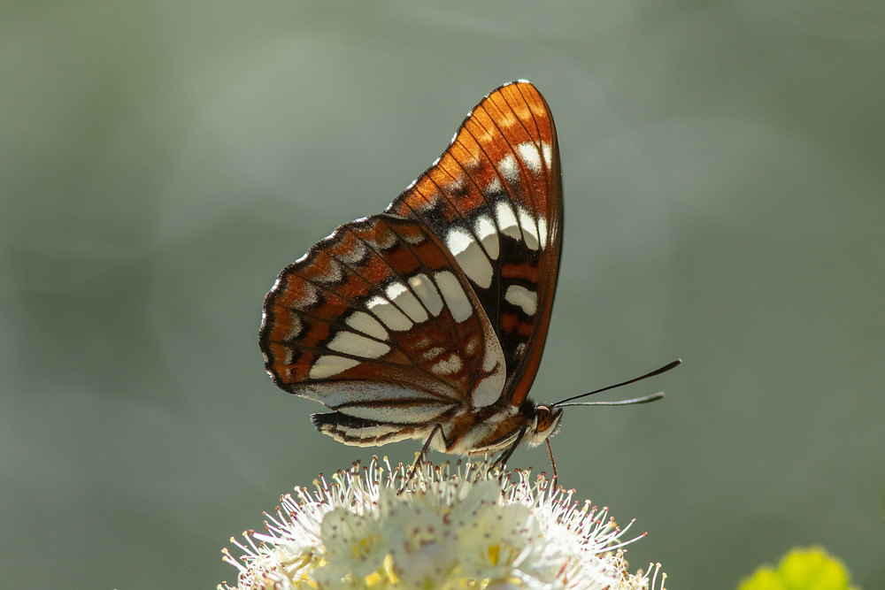 Close-up photo of Lorquin's Admiral butterfly