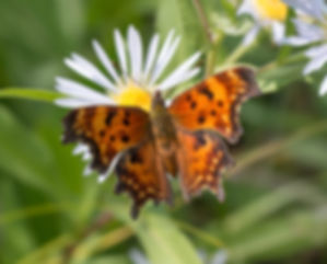 Close-up photo of Green Comma, upper side