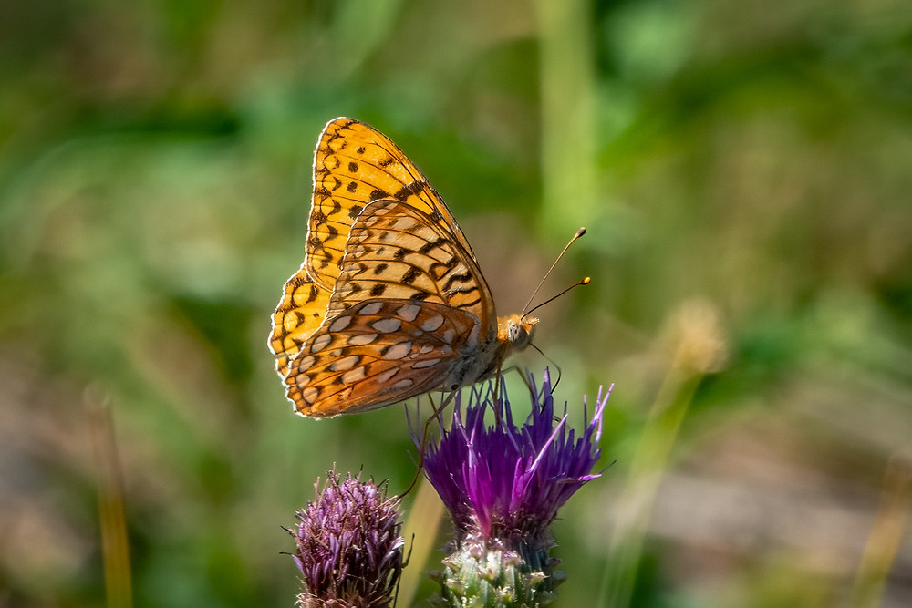 Close-up photo of adult Coronis Fritillary butterfly.