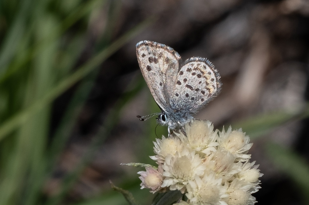 "Photo of ""Cascadia Blue"" Euphilotes ""battoides"" butterfly"