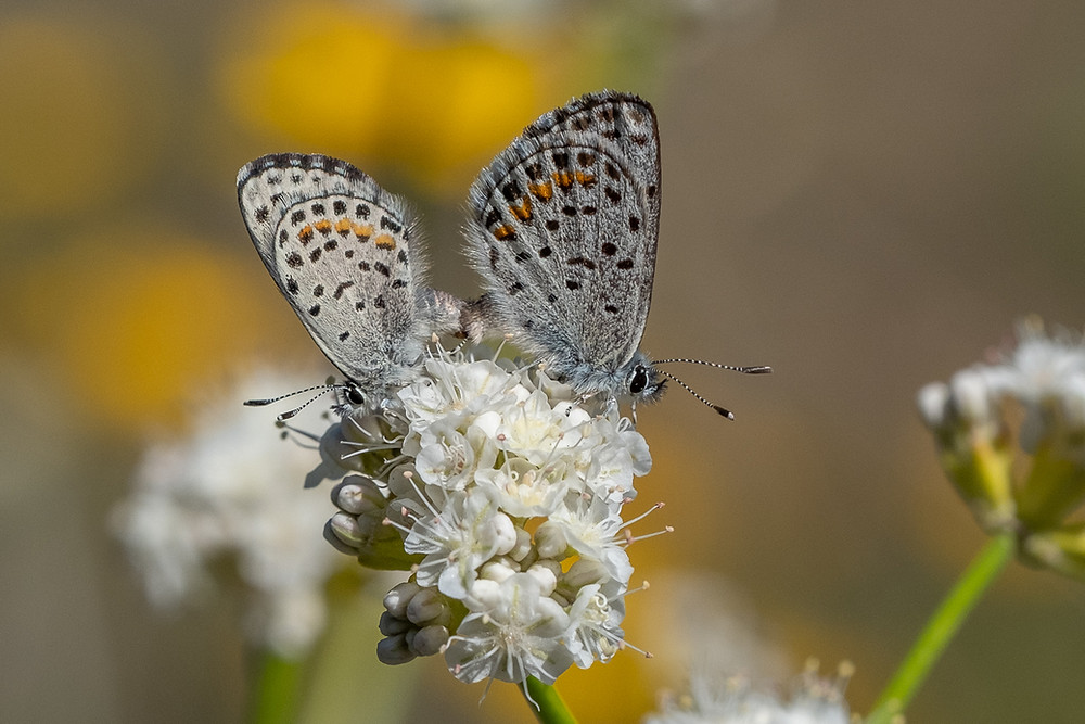 Close up photo of a mating pair of Dotted Blue butterflies