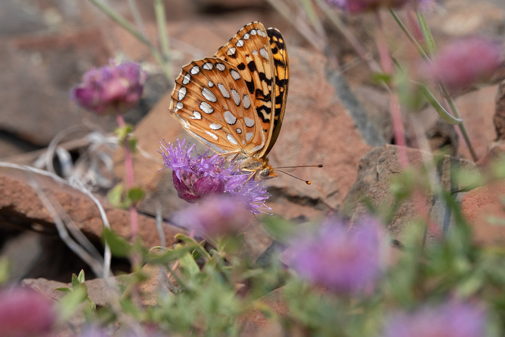 Close-up photo of Great Basin Woodnymph butterfly