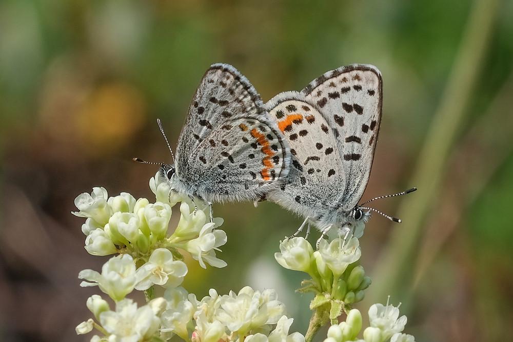 Close-up photo of mating Cascadia Blues