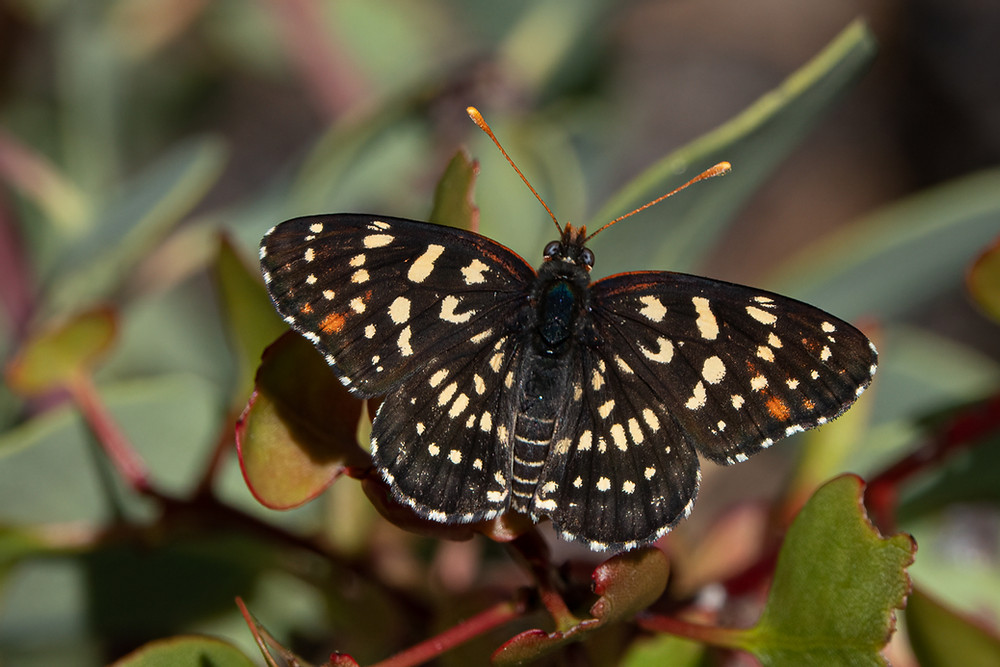 Close-up photo of a live Leanira Checkerspot butterfly