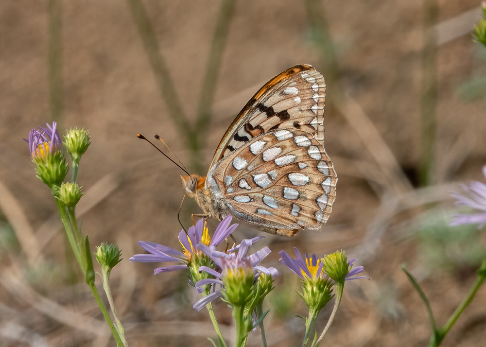 Close-up photo of adult Coronis Fritillary butterfly