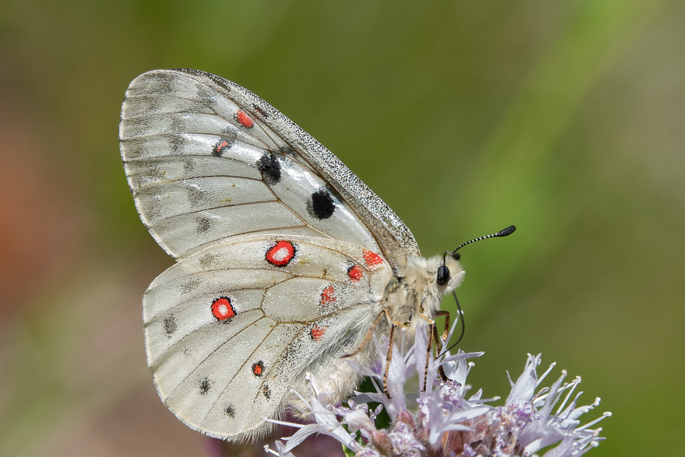 Close-up photo of Mountain Parnassian butterfly.
