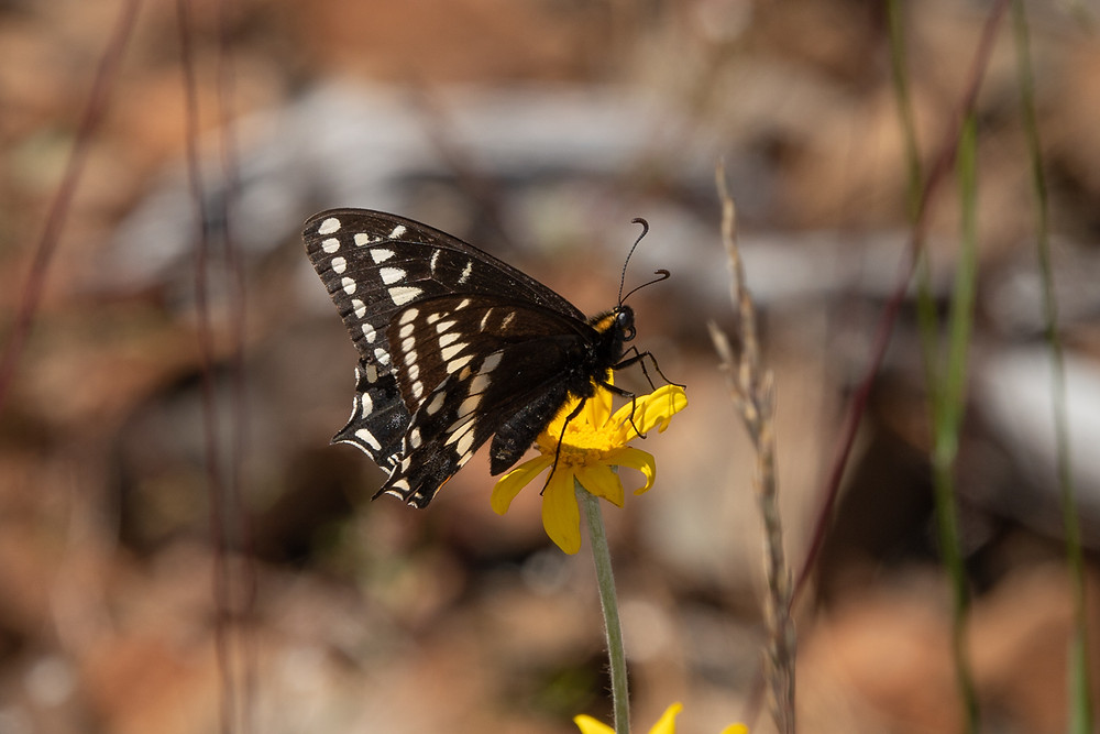 Close-up photo of a live Indra Swallowtail butterfly