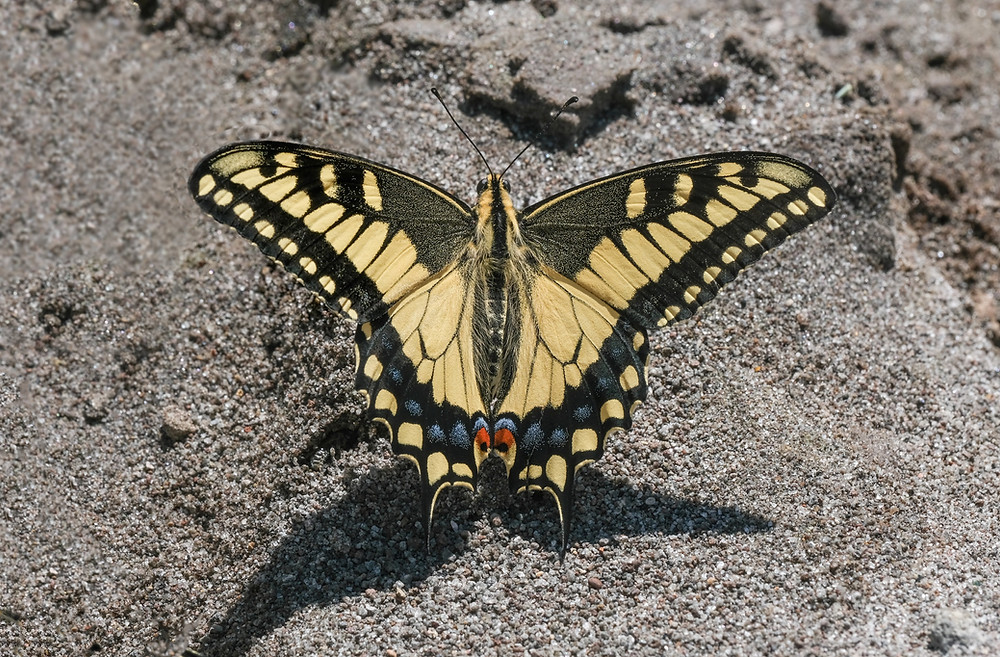 Close-up photo of adult Oregon Swallowtail butterfly