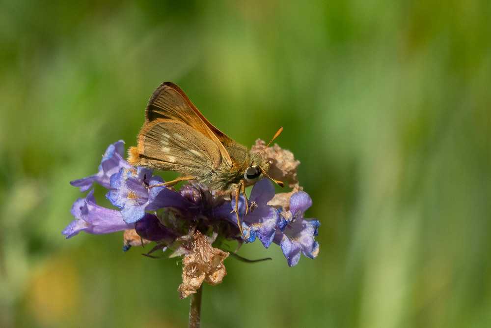 Close-up photo of live Sonora Skipper butterfly