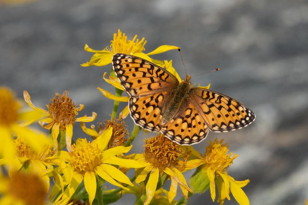 Photo of Mormon Fritillary butterfly