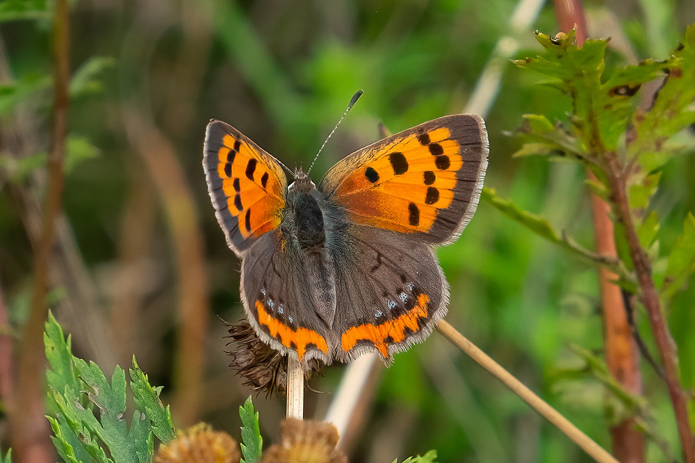 Close-up photo of American Copper butterfly
