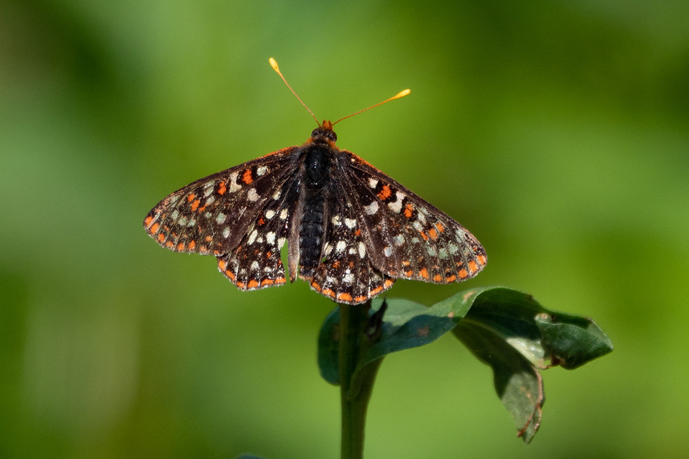 Close-up photo of Edith's Checkerspot butterfly