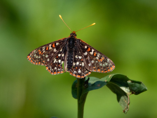The Mysterious Case of the Vanishing Checkerspot