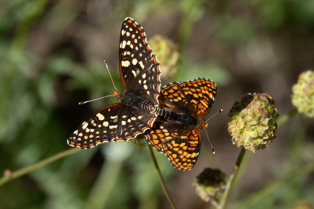 Color photo of mating Northern Checkerspot butterflies