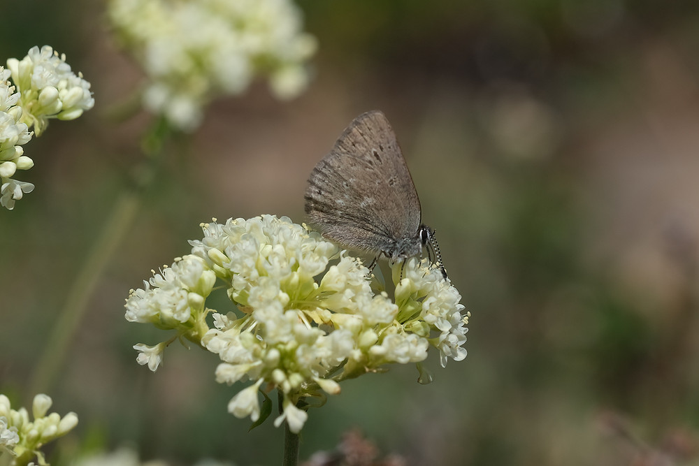 Close-up photo of adult Half-moon Hairstreak butterfly