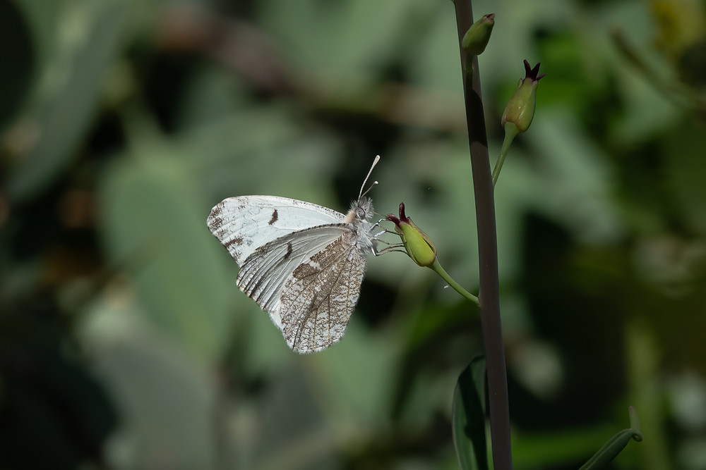 A close-up photo of a Gray Marble butterfly