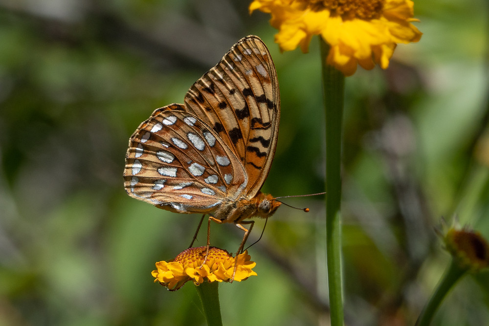 Close-up photo of a live Coronis Fritillary butterfly