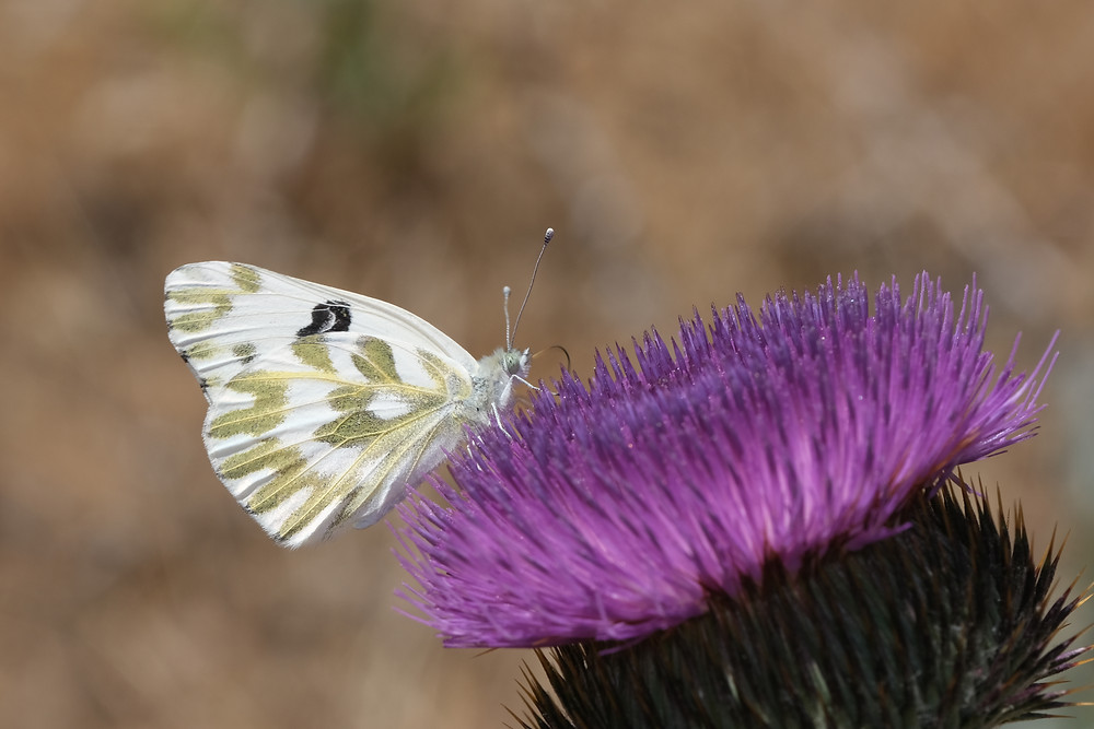 Close-up photo of adult Becker's White butterfly