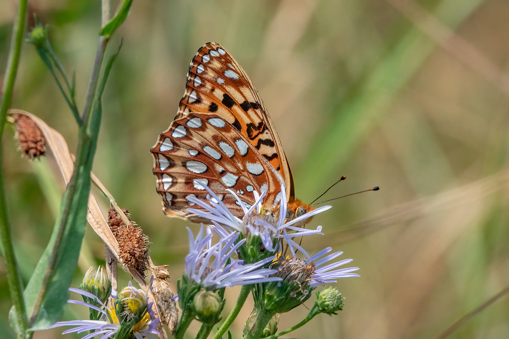 Close-up photo of adult Zerene Fritillary butterfly